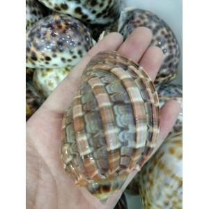 """Fosilija """"Nuostabioji kriauklė 5"""" (amonitas, iš Madagaskaro)"""