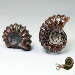 """Akmeninė fosilija """"3 kriauklelės 2"""" (amonitas)"""