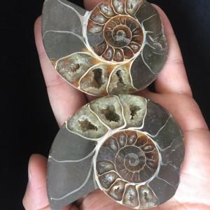"""Akmeninė fosilija """"Nuostabioji kriauklė 11"""" (amonitas)"""